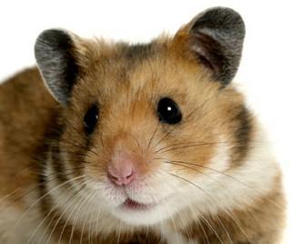 Ter e criar Hamster em casa-apartamento