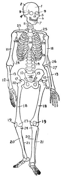 Quantos e quais são ossos que o corpo humano possui?