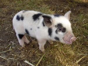 Mini porquinho como animal de estimação-Onde comprar