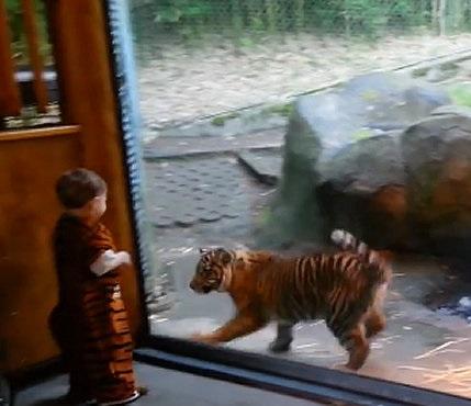 Bebê brinca com tigre em zoológico