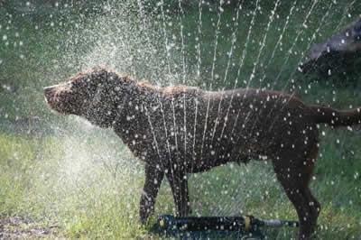 Cuidados com os cães no verão