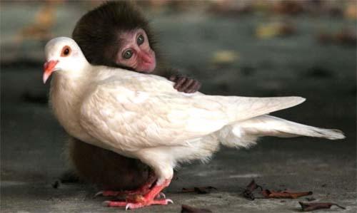 macaco-pomba-juntos