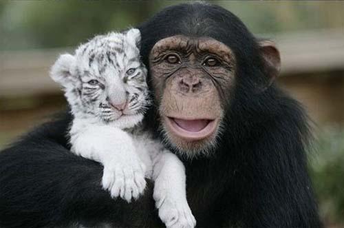 macaco-tigre-branco